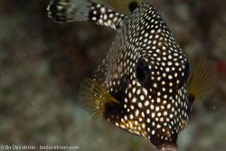 BD-101213-Playa-del-Carmen-3150-Rhinesomus-triqueter-(Linnaeus.-1758)-[Smooth-trunkfish].jpg